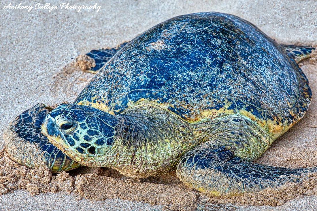 Hawaiian Sea Turtle Laniakea Beach, North Shore Oahu