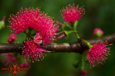 Pink Lehua on the trail to the Falls