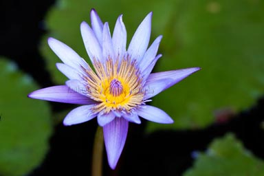 Tropical Water Lily
